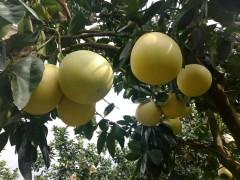 平和琯溪蜜柚价格行情走势,蜜柚批发价格持续低迷
